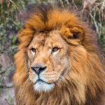 金のライオン、銀のライオン